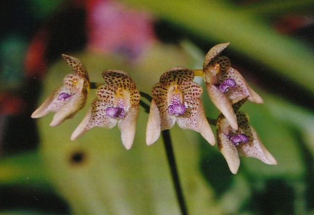 Bulbophyllum guttulatum